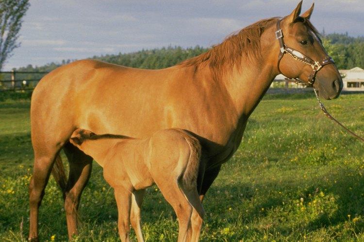 Signos de una yegua preñada.