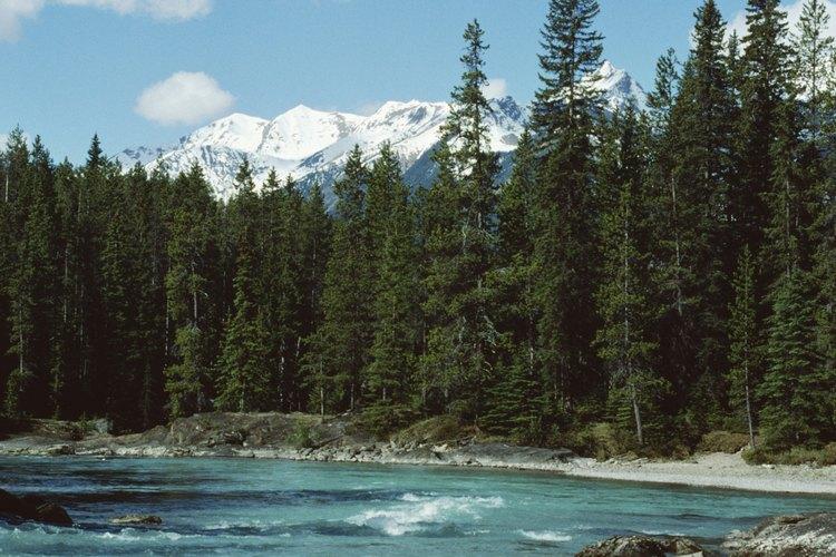 Los árboles abeto noble pueden crecer más de 200 pies de altura (60 metros) en un hábitat natural.