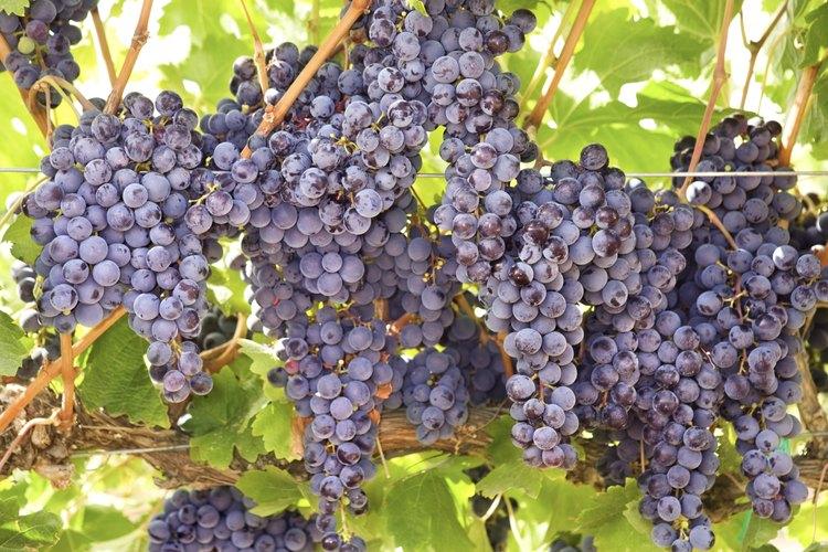 La uva moscatel se utiliza en la elaboración de jaleas y vinos