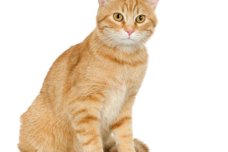 Los cristales en la vejiga o la orina pueden ser mortales en los gatos macho.