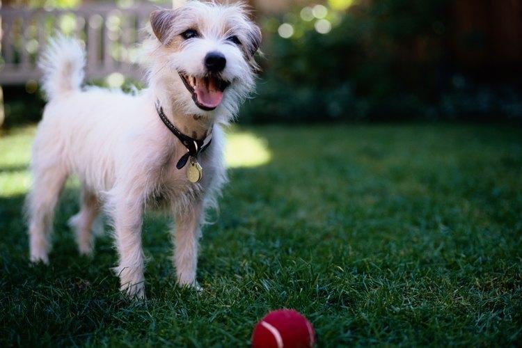 La mezcla de Shih Tzu/caniche se ha hecho muy popular como una raza de perro de diseño.