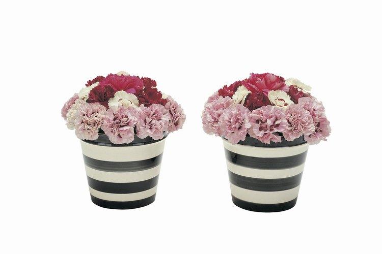 Los claveles se utilizan a menudo en arreglos florales para expresar pésame.