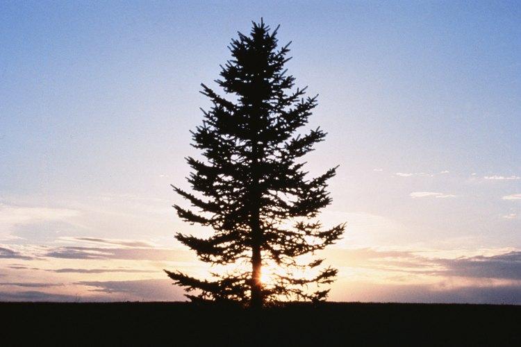 Poda bien tu pino para mantener íntegra su forma.