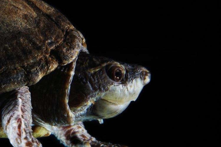 Las tortugas son un tipo de reptil.