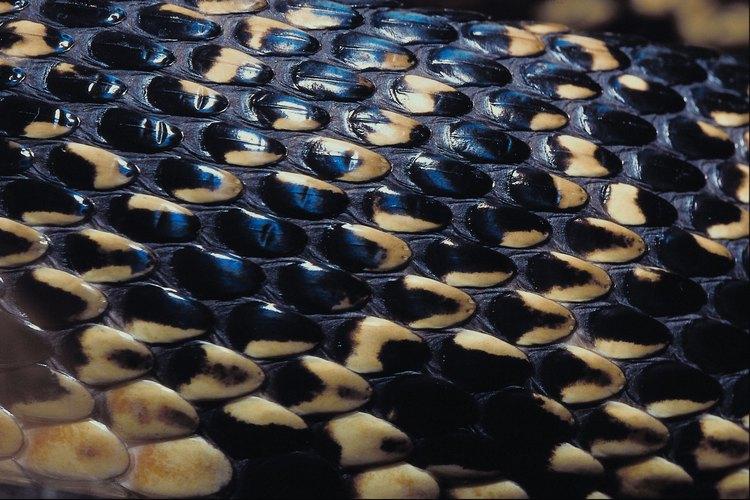 Siete especies de serpientes negras viven en Florida y el sudeste adyacente de los Estados Unidos.