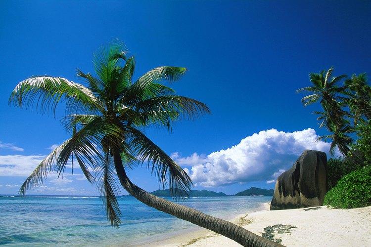 Las palmeras de cocos toleran el viento, calor, suelo arenoso y el rocío de sal.