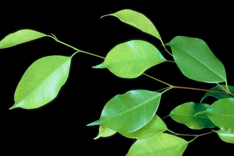 Las brillantes hojas de un ficus benjamina.