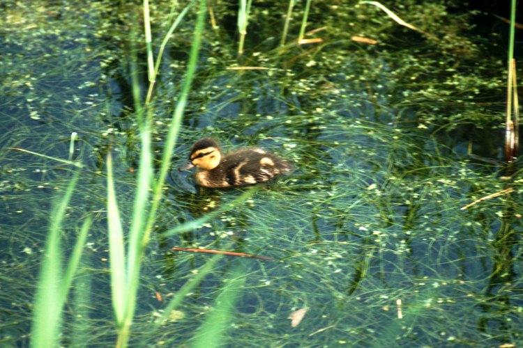 En la naturaleza, los patos comen algas y vegetación como parte de su dieta natural.