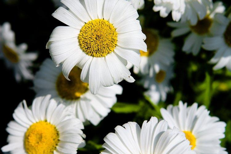 Piensa en una flor y una margarita será la primera en aparecer en tu mente.