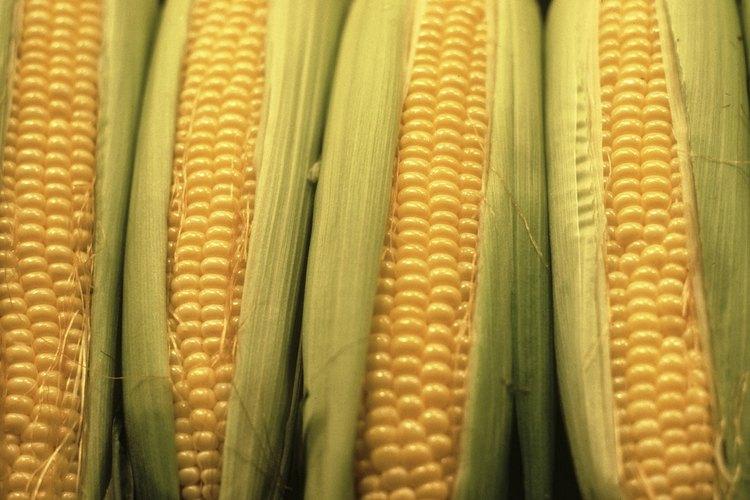 Mazorcas de maíz.