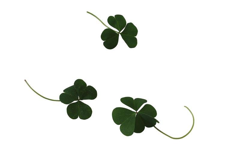 Los tréboles de cuatro hojas son una mutación genética dentro de las especies de trébol.