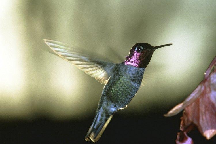 Los colibríes están entre las aves más rápidas.