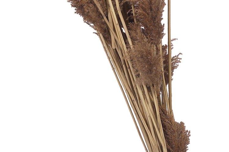 Son una de las plantas más comunes en los grandes pantanos y en el borde de los estanques.