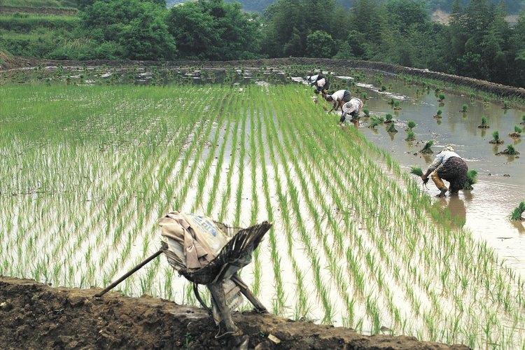 Campo inundado con plantas jóvenes de arroz.