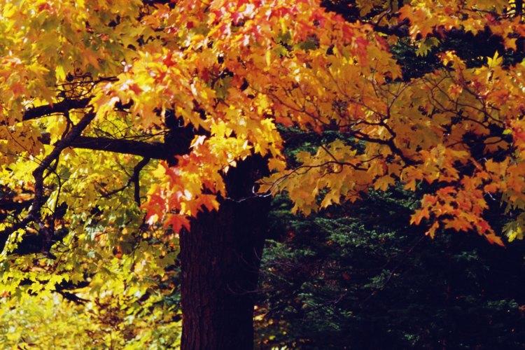El resplandor de otoño es una especie que combina las mejores características del arce rojo y el arce de plata.