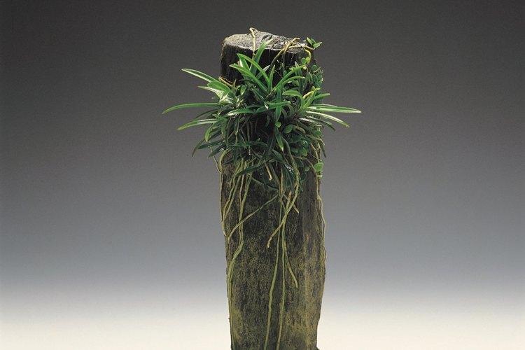 El musgo español es una planta aérea de floración.