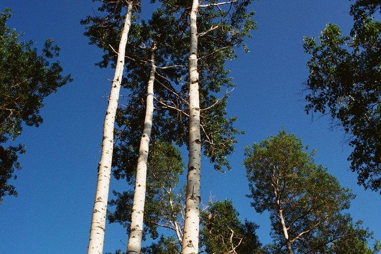 Equivocadamente, no todas las maderas duras tienen madera dura.