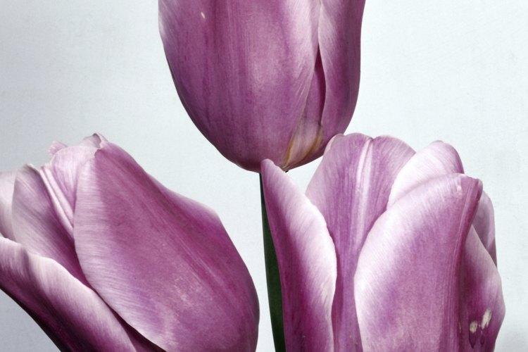 En un momento durante el siglo XVII, los tulipanes se convirtieron en tremendamente populares en Europa.