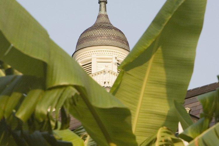 Las hojas grandes constituyen un área superficial grande para la luz solar.