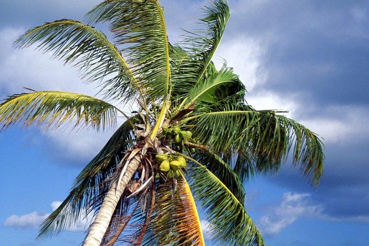 La palmera tropical.