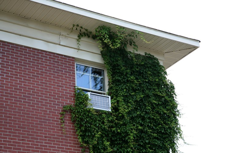 Las hiedras gustan de trepar por las paredes de ladrillo.