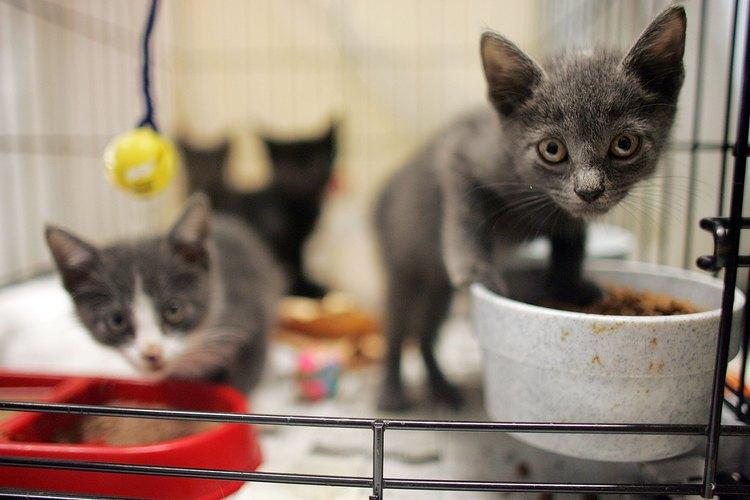 Deja de alimentarlos con la fórmula para gatitos durante la séptima semana.