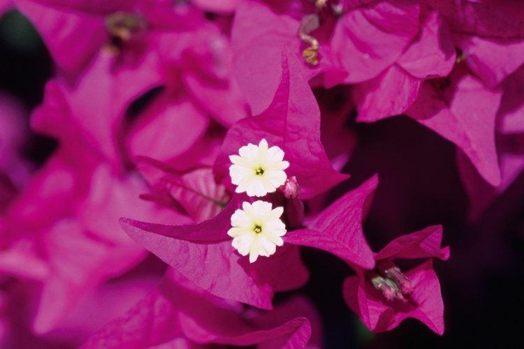 Las pequeñas flores de la buganvilla están rodeadas de bractas coloridas.