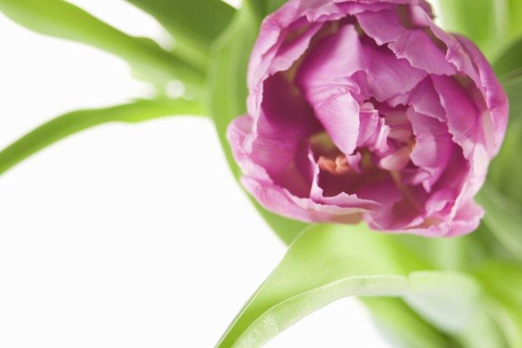 Los tulipanes dobles a menudo no revelan el núcleo central de la flor.