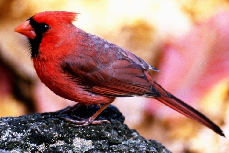 Los niños pueden disfrutar observando cardenales salvajes.