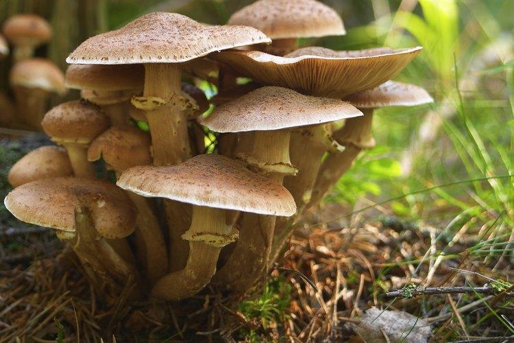 Las setas son las principales categorías de hongos.