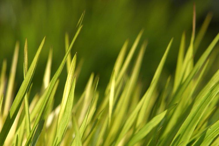 La hierba juncia en el césped, el jardín o jardineras es poco atractiva y difícil de matar.