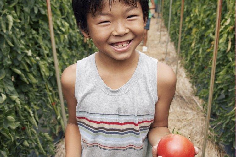 La pudrición apical del tomate es resultado de un riego irregular.
