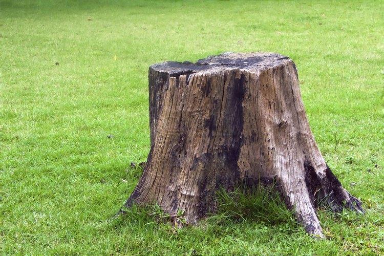 No siempre es fácil o rápido descomponer un tocón de árbol completamente.