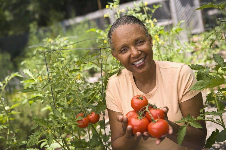 El exceso de riego también hará que la planta de tomate se marchite y muera.