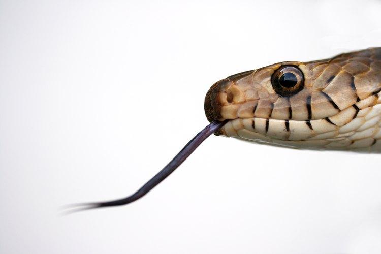 En México existen cuatro especies de serpientes venenosas.