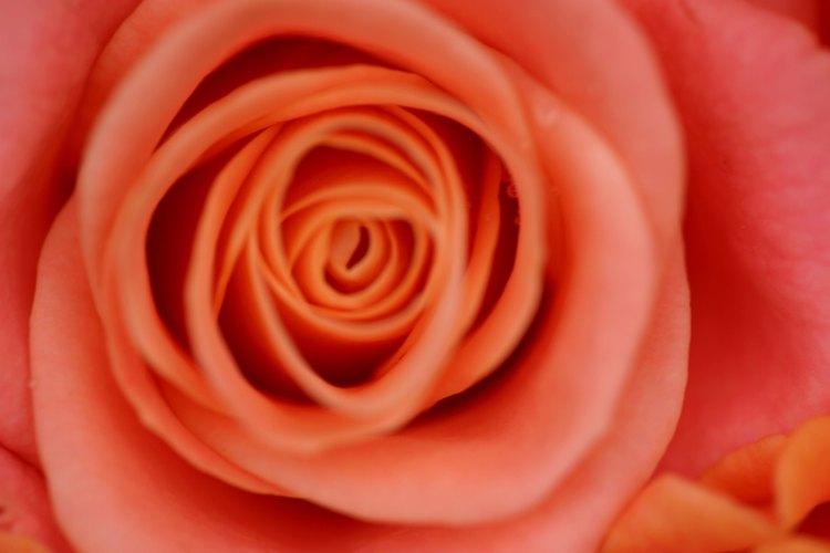 La planta de rosa es una dicotiledónea, no una monocotiledónea.