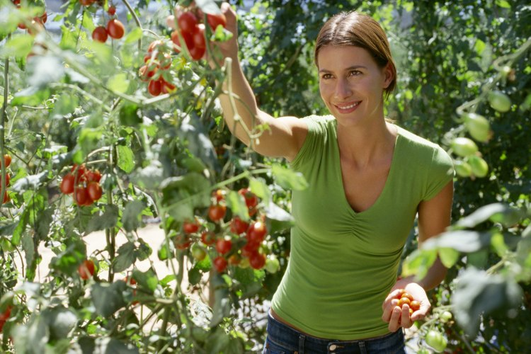 Planta de tomates.
