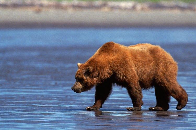 Para algunas personas, los osos pardos se encuentran entre los animales más hermosos del planeta.