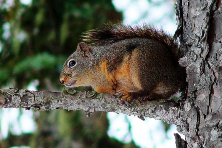 Las ardillas adoran las bolas del naranjo de Luisiana.