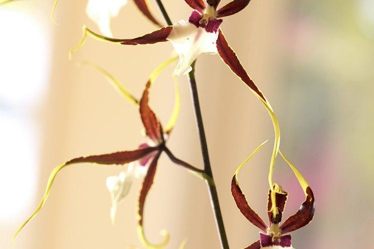Las orquídeas son plantas herbáceas, perennes (raramente anuales), terrestres o epífitas.