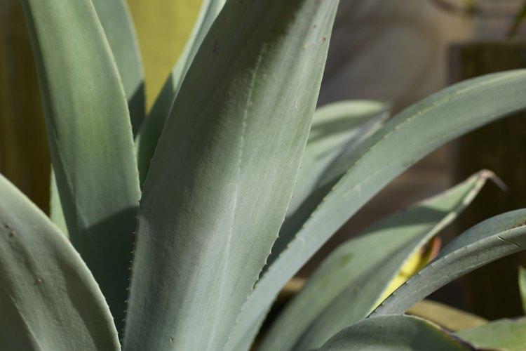 El tequila se hace con la savia del agave azul.