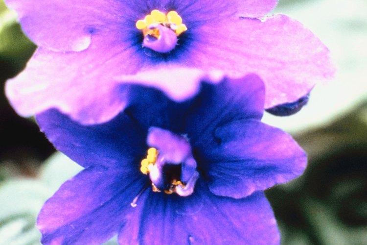 Violeta africana.