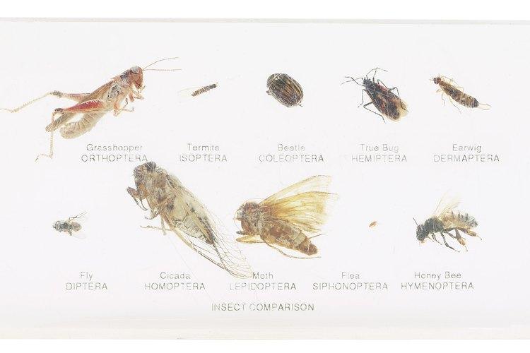 Las pulgas transmitieron la peste negra de las ratas a los seres humanos.