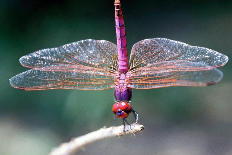 Las libélulas, con sus dos pares de alas articuladas, pueden maniobrar de manera sorprendente y mortal.