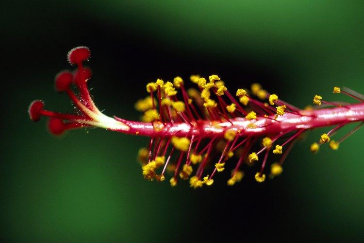 La polinización se produce ya sea con la ayuda del viento y animales, en los que el polen de una flor es transferido a otra.