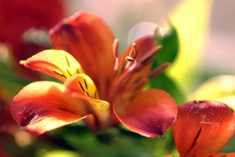Los lirios de día tienen gran variedad de tamaños y colores.