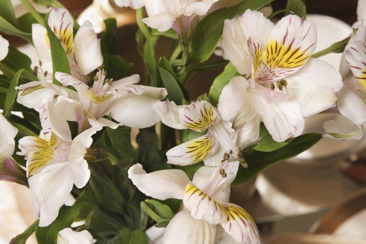 Algunas orquídeas pueden retener su belleza en floreros durante algunas semanas.