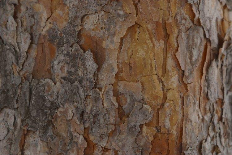 La savia de los pinos se puede aprovechar para hacer trementina o resina.