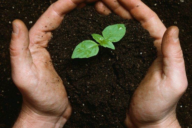 Una manera más rápida de comenzar es con esquejes del tallo de las plantas existentes.