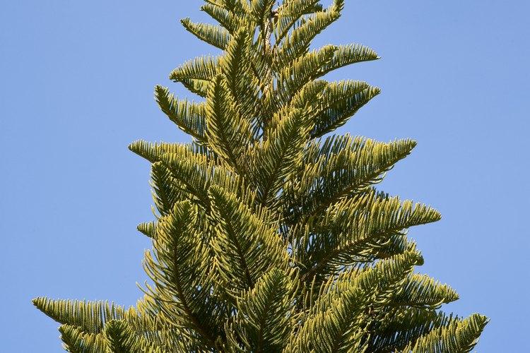 Leyendas comunes de los rboles de pino for Cuales son los arboles perennes
